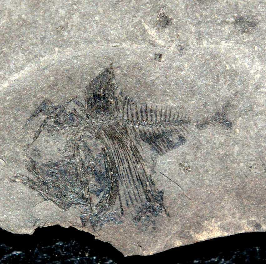 Argyropelecus cosmovicii cosman pauca