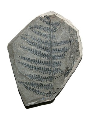 fossil plant